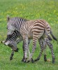 Horse for sale: Young Zebras ready to go.